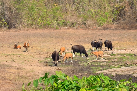 bos: Gaur (Bos gaurus) and Banteng (Bos javanicus) in saltlick at Huai Kha Khaeng wildlife sanctuary, Thailand