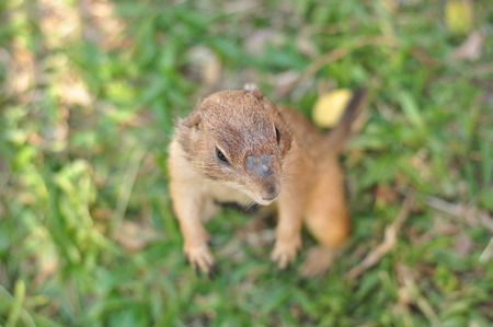 prairie dog: Close-up of Prairie Dog, Cynomys sp.