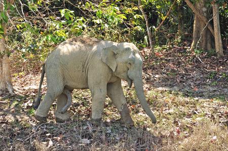 asian elephant: Asian Elephant (Elephas maximus) in Thailand