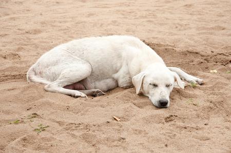 Thai dog sleeping on sand beach