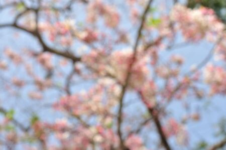 Flower blossom blur background, Pink cassia, Pink tree