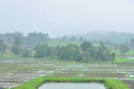 Landscape of paddy field in rainy day, Agriculture scene, Thailand
