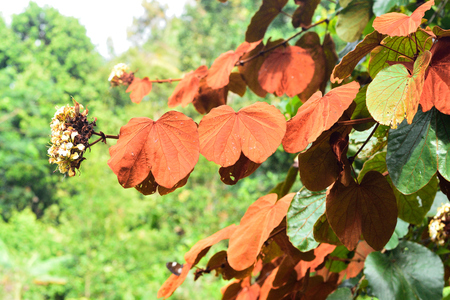 Gold Leaf Bauhinia a beautiful endemic climber plant of Thailand Imagens - 83549843