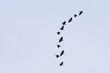A flocking of Plain-pouched hornbill, Aceros subruficollis, Thailand