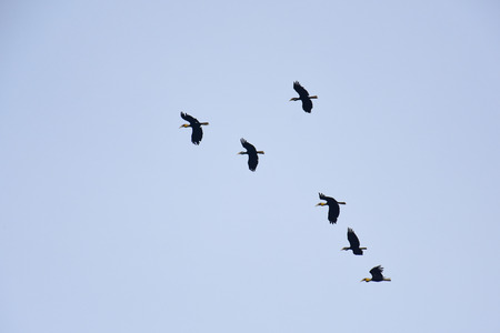 A flocking of Plain-pouched hornbill on blue sky, Aceros subruficollis, Thailand
