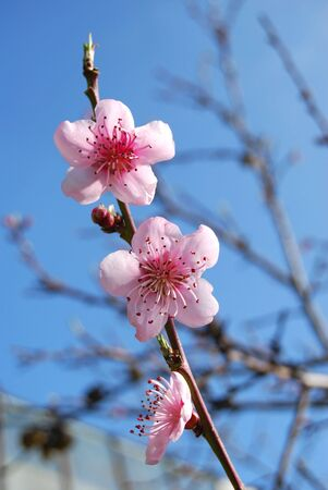 Three pink flowers of peach. photo