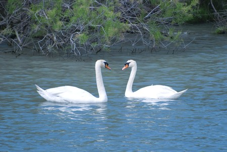 Loving swans along the Little Rhone in Camargue, France. photo