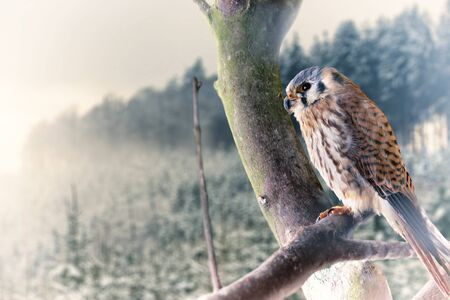 snow forest: Falcon from snow forest Winter scenery