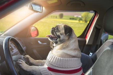 steers: Pug steers the car