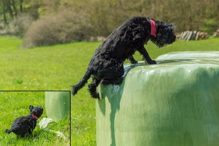 Black dog jumping on a silo ball Stock Photo