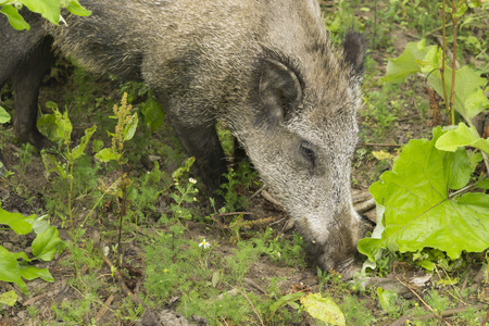 Wild boar digs with the nose in the ground Stock Photo