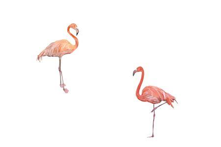 Flamingos isolated on white background