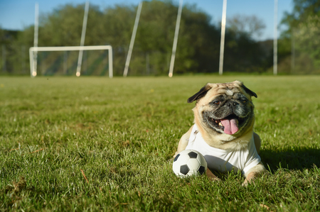 Little dog is sitting on the football field. The pug wears a T Shirt with copy space. He is attentive and guards a small football. Its a sunny day on the grass field. Stock Photo