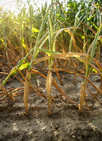 In the hot summer, the dryness destroys the cultivated maize in Soest, North Rhine Westphalia, Germany. The plants dry up from the bottom upwards. They are in encrusted soil.