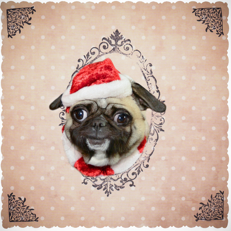 Dog pug with Christmas cap smiles and puts his head through paper  background