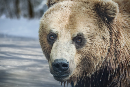 The big head of a brown bear in front of a frozen pond. The bear keeps eye contact with the camera. His coat is wet. Archivio Fotografico - 115566797