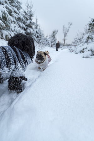 2 little dogs (one is a pug) are wearing wool sweaters. They walk through the deep snow. A walk in the snowy winter forest.