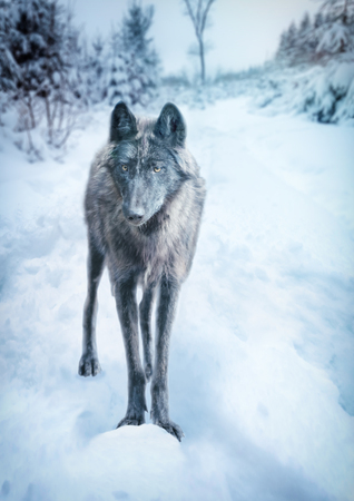 A wild wolf of the Timberwolf breed stands in snowy winter landscape Zdjęcie Seryjne