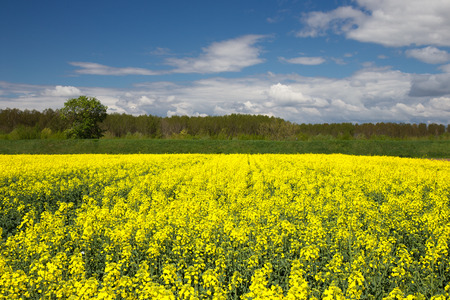 oilseed: Oilseed Rape Field in Spring with blue Sky Stock Photo