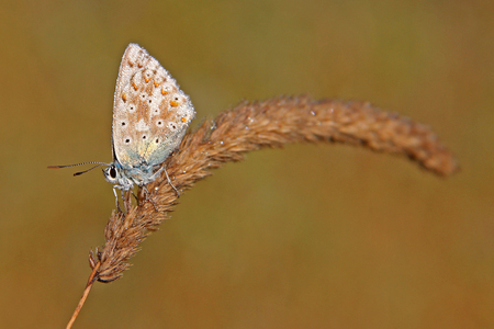 dewy: Little Butterfly (Polyommatus coridon) on a Grass with dewy wings