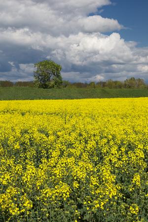 brassica: Oilseed Rape Field brassica napus canola with blue Sky