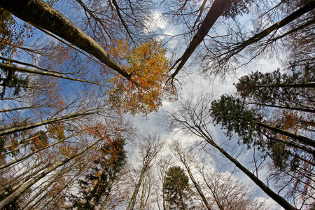 Treetops in Autumn - Forest From Bellow with blue Sky