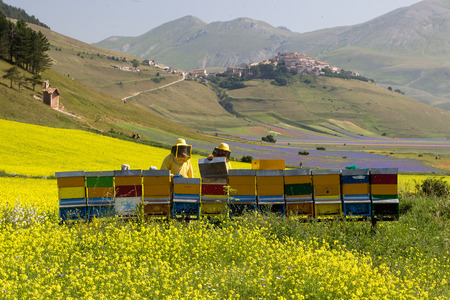 Beekeeper on apiary checking the hives on blossoming rapeseed field