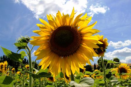 Sunflowers Field - Landscape