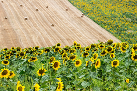 recanati: Landscape - Sunflowers and harvest Wheat Field with Straw Bale Stock Photo