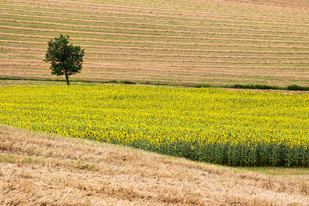 upperdeck view: Landscape - Sunflowers and harvest Wheat Field with Oak Tree Stock Photo