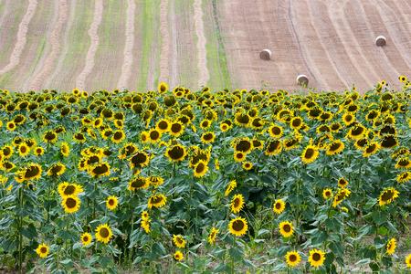 recanati: Sunflowers Field - Landscape