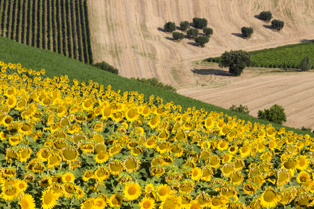 recanati: Sunflowers and harvest Wheat Field and Olive Trees Stock Photo