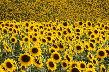 upperdeck view: Sunflowers Field - Landscape