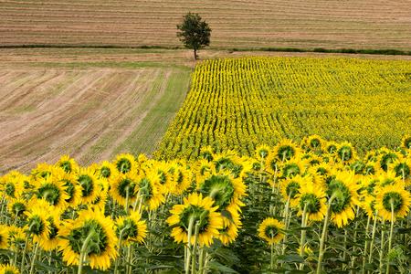 Sunflowers Field with Oak Tree - Landscape