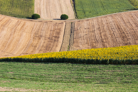 Landscape - Sunflowers and harvest Wheat Field with Oak Trees Stock Photo