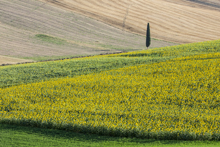 upperdeck view: Landscape - Sunflowers Field with Cypress Tree Stock Photo