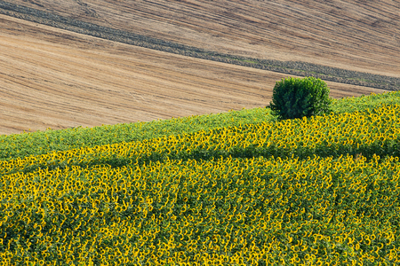 recanati: Sunflowers and harvest Wheat Field and a Bush