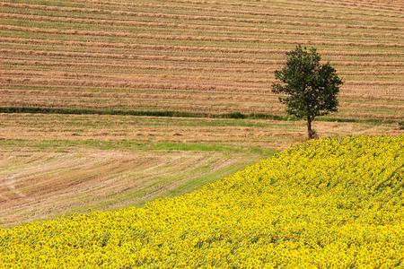 recanati: Landscape - Sunflowers and Wheat Field with Oak Tree