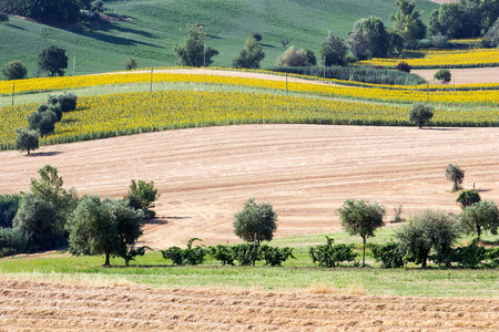 upperdeck view: Landscape Sunflowers and harvest Wheat Field with Olive Trees