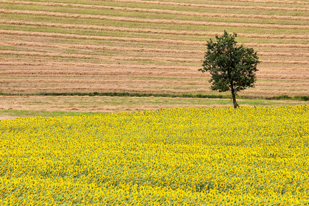 upperdeck view: Sunflowers and Wheat Field with Oak Tree