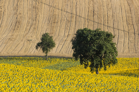 upperdeck view: Sunflowers and Wheat Field with Oak Trees