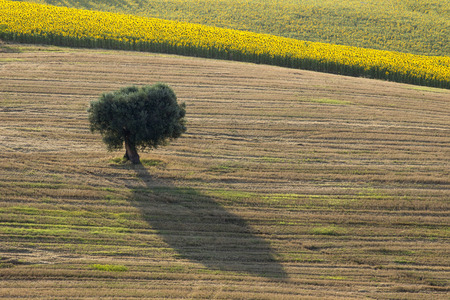 Harvest Wheat Field with Olive tree with shadow - Landscape