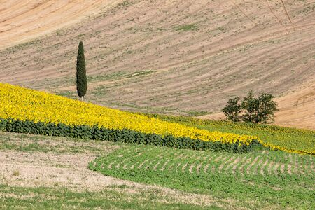upperdeck view: Landscape - Sunflowers and Wheat Field with Cypress Tree