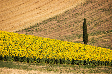 upperdeck view: Sunflowers Field with harvest Wheat Field - Landscape