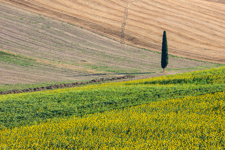 upperdeck view: Sunflowers Field with Cypress Tree - Landscape