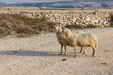Island Pag, Sheep on pasture - two female long-tailed sheep, Croatia, paski sir, Pag cheese, sheep cheese, agriculture, bio food, eco farms