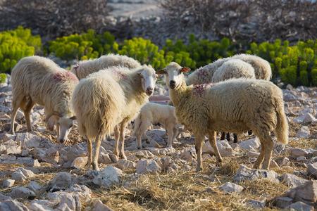 Flock Of Sheep on pasture - long-tailed sheep, island Pag, Croatia