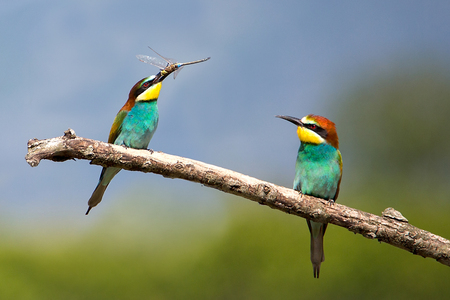 Pair of Bee-eater with dragonfly (Merops apiaster) - Beautiful Tropical Bird, Isola della Cona, Monfalcone, Italy
