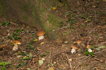Edible mushrooms (boletus edulis) - Porcini Mushroom in forest