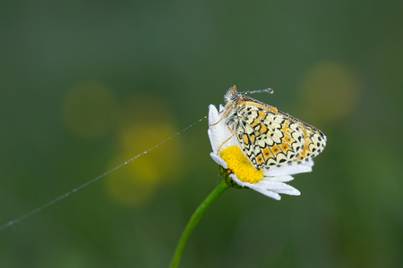 Colorful butterfly Melitaea athalia on daisy flower with water drops and blurred green background